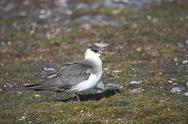 Stock Photo of Arctic skua - Spitsbergen, Svalbard
