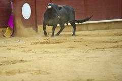 Bull in the arena. Stock Photos
