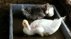 Stock Video Footage of ducks.mp4