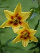 Stock Photo of yellow lily