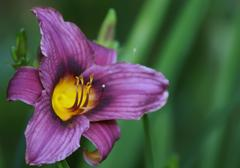Beautiful purple lilies in garden, close up Stock Photos