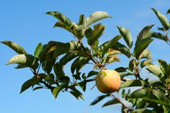 granny smith apple on a tree - stock photo