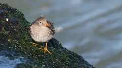 Purple Sandpiper (Calidris maritima) by the Atlantic ocean Stock Footage
