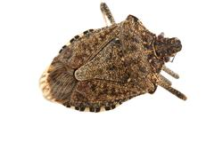 shield or stink bug isolated on white - stock photo