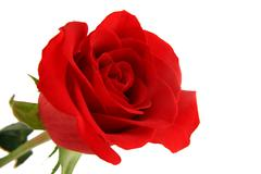 isolated red rose on white background - stock photo