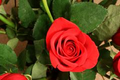 red rose with leaves - stock photo