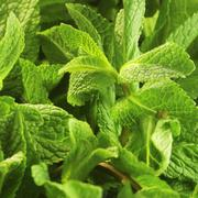 Fresh mint (close-up) Stock Photos