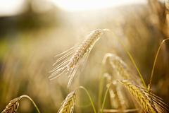 Rye field (detail) - stock photo