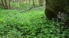 Woodruff (Galium odoratum) Stock Footage