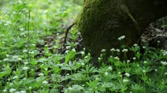 Stock Video Footage of Woodruff (Galium odoratum)