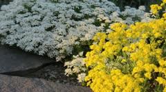 Golden alyssum (Aurinia saxatilis syn. Alyssum saxatile) and evergreen candytuft - stock footage