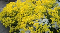Golden alyssum (Aurinia saxatilis syn. Alyssum saxatile) and evergreen candytuft Stock Footage