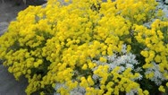 Stock Video Footage of Golden alyssum (Aurinia saxatilis syn. Alyssum saxatile) and evergreen candytuft