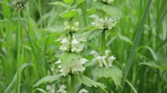 White dead nettle (Lamium album) - stock footage
