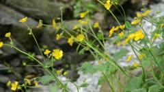 Stock Video Footage of Woolly buttercup (Ranunculus lanuginosus)