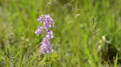 Sidebells penstemon (Penstemon secundiflorus) Stock Footage