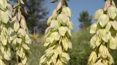 Great Plains yucca (Yucca glauca) - stock footage