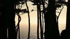 Monterey cypress (Cupressus macrocarpa syn. Cupressus lambertiana), San Stock Footage