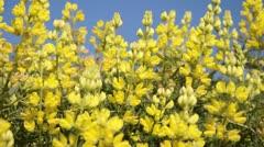 Yellow bush lupine (Lupinus arboreus) Stock Footage