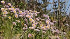 Seaside daisy (Erigeron glaucus) - stock footage