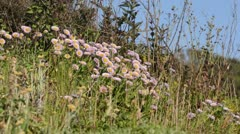Seaside daisy (Erigeron glaucus) Stock Footage