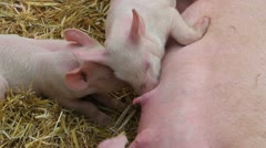 Lactation of piglets feed by mother pig Stock Footage