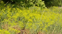 Seguier's spurge (Euphorbia seguieriana) Stock Footage