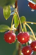 Morello cherries on a tree - stock photo
