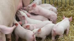 Lactation of piglets feed by mother pig - stock footage