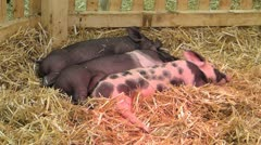 Baby pigs piglets sleeping under infrared light - stock footage