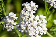 Flowering yarrow (Achillea Millefolium) Stock Photos