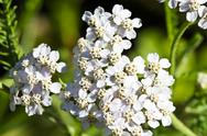 Stock Photo of Flowering yarrow (Achillea Millefolium)