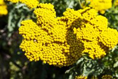 Flowering fernleaf yarrow (Achillea Filipendulina) - stock photo