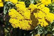 Stock Photo of Flowering fernleaf yarrow (Achillea Filipendulina)