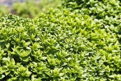 Basil growing outside (Ocimum Basilicum) Stock Photos