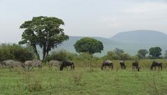 Savannah scenery with serengeti animals Stock Photos