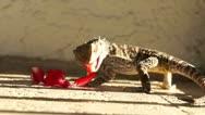 Stock Video Footage of Lizard Eating Flower