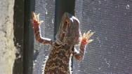 Stock Video Footage of Lizard on the patio screen