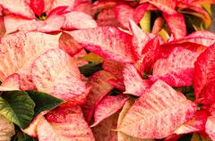poinsettia flowers with bright bracts - stock photo