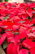 Red poinsettia flowers in bloom Stock Photos