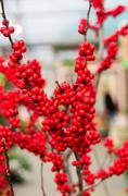 red berries on a branch - stock photo