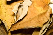 Stock Photo of Varnish Leaves