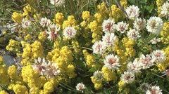 Iceland clover & yellow flowers p Stock Footage