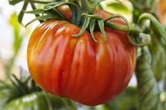 Beefsteak tomato on the plant Stock Photos