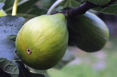 Figs on the tree - stock photo