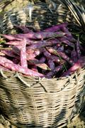 A basket of freshly harvested borlotti beans - stock photo