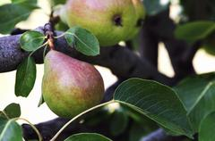 Stock Photo of Pears on the tree
