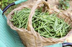 A basket of freshly harvested green beans - stock photo