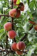 Peaches on the tree - stock photo