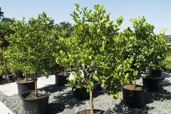 Citrus trees in a garden centre Stock Photos